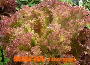 红叶生菜的营养价值和功效