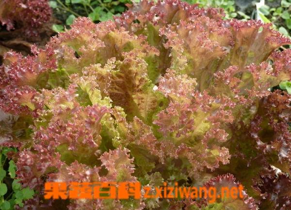 果蔬百科红叶生菜
